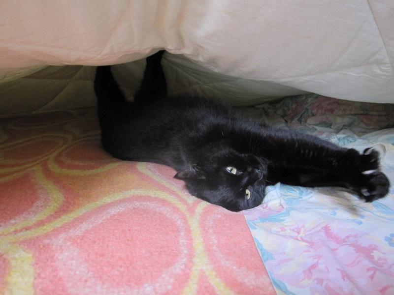 Hania, chatte européenne noire, née en septembre 2012 Img_1519
