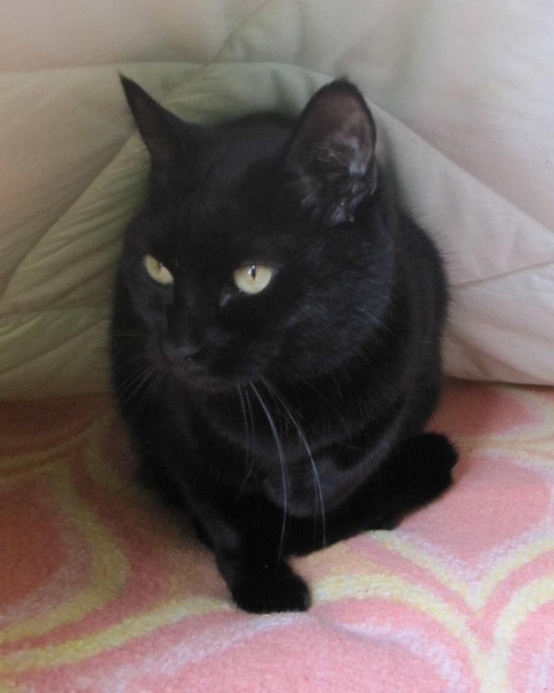 Hania, chatte européenne noire, née en septembre 2012 Img_1520