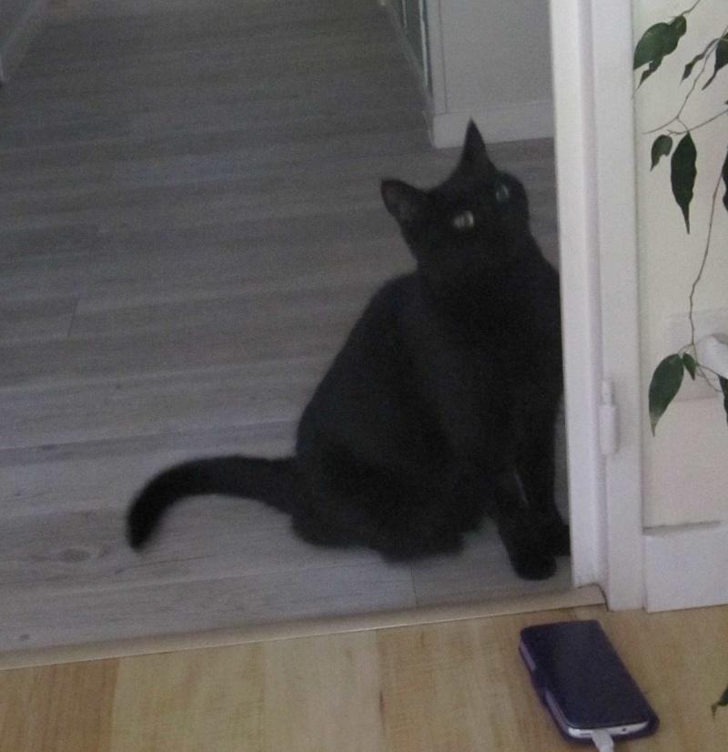 Hania, chatte européenne noire, née en septembre 2012 Img_1521