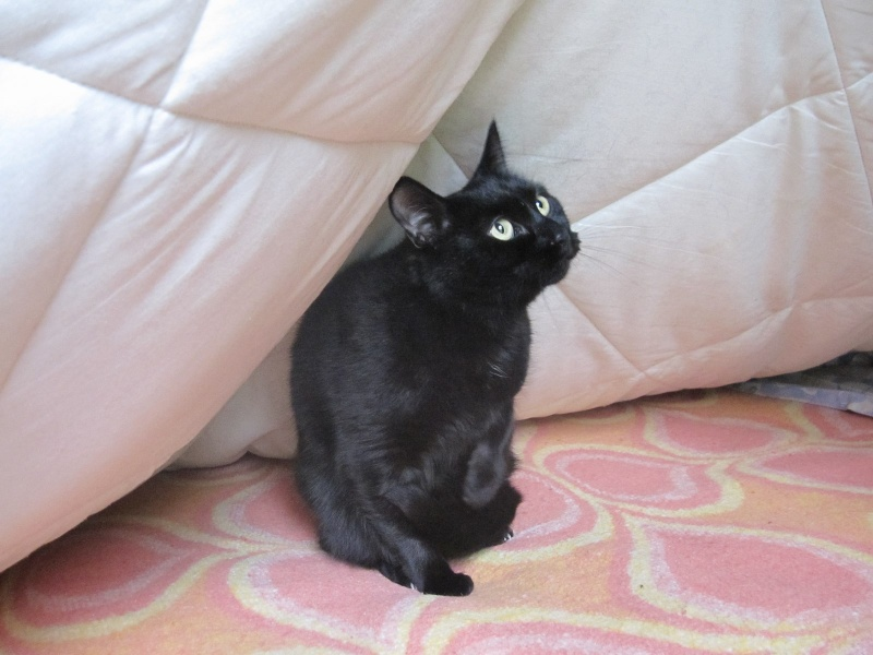 Hania, chatte européenne noire, née en septembre 2012 Img_1522