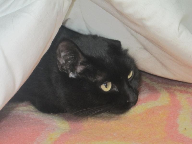 Hania, chatte européenne noire, née en septembre 2012 Img_1523