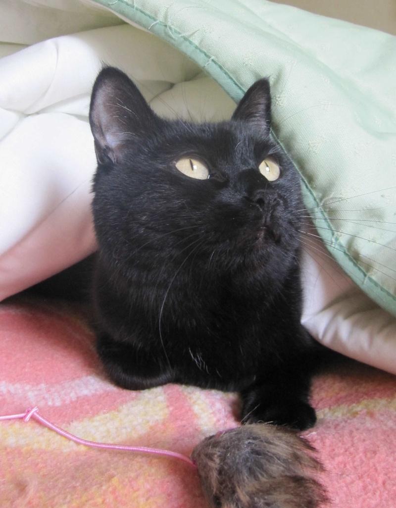 Hania, chatte européenne noire, née en septembre 2012 Img_1524