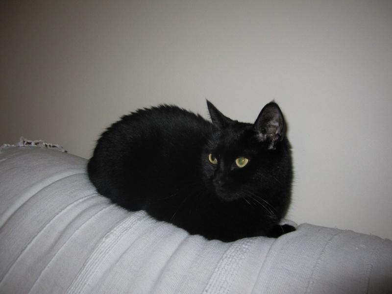 Hania, chatte européenne noire, née en septembre 2012 Img_1526