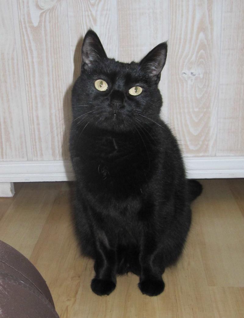Hania, chatte européenne noire, née en septembre 2012 Img_1527