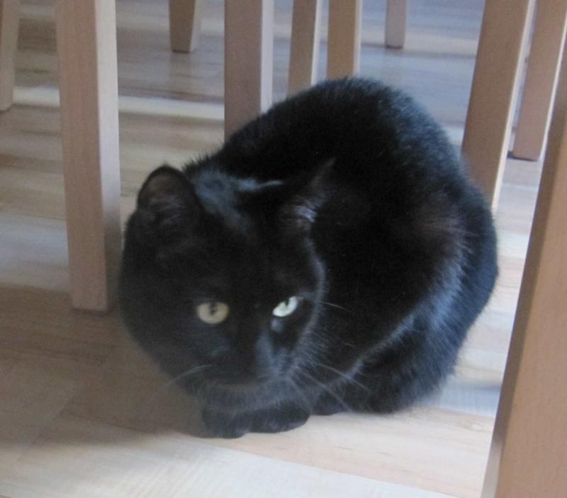Hania, chatte européenne noire, née en septembre 2012 Img_1528