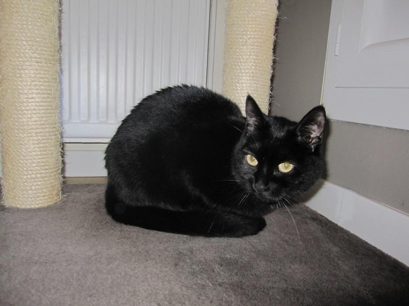 Hania, chatte européenne noire, née en septembre 2012 Img_1529