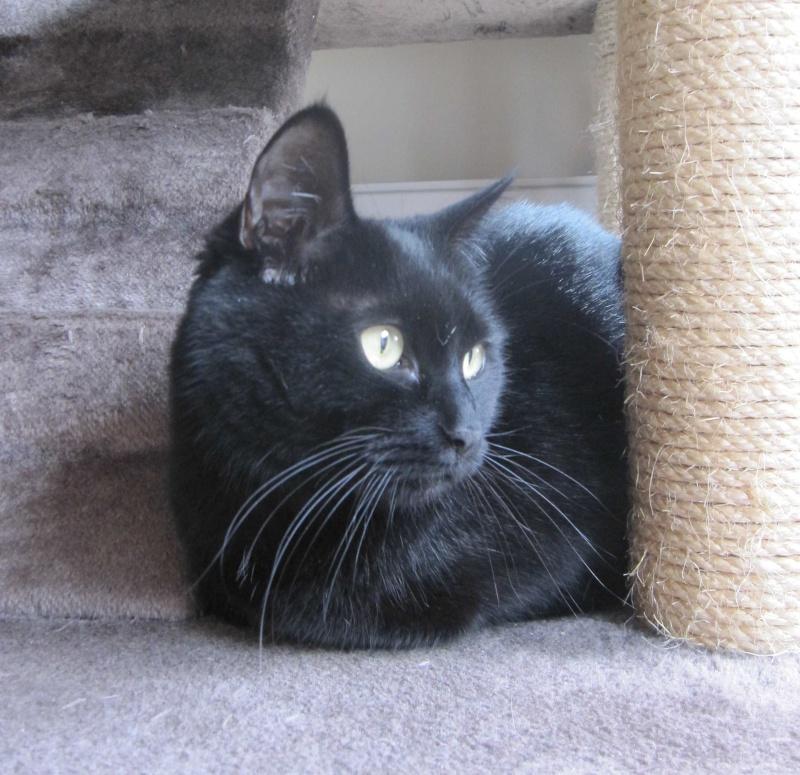 Hania, chatte européenne noire, née en septembre 2012 Img_1531