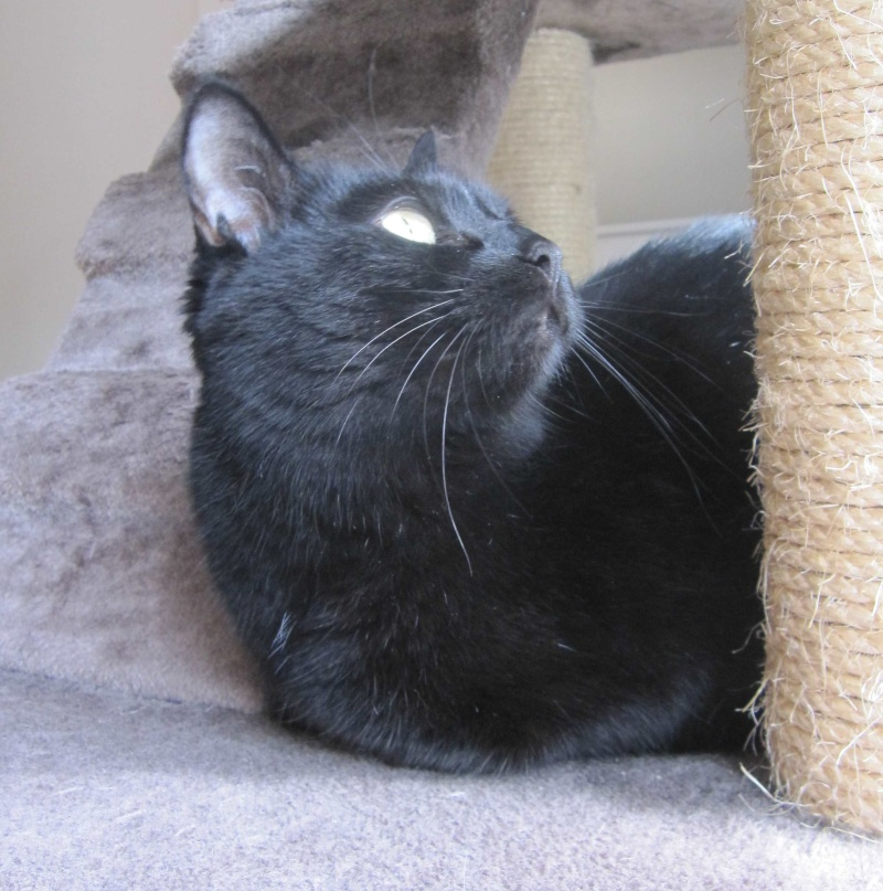 Hania, chatte européenne noire, née en septembre 2012 Img_1532