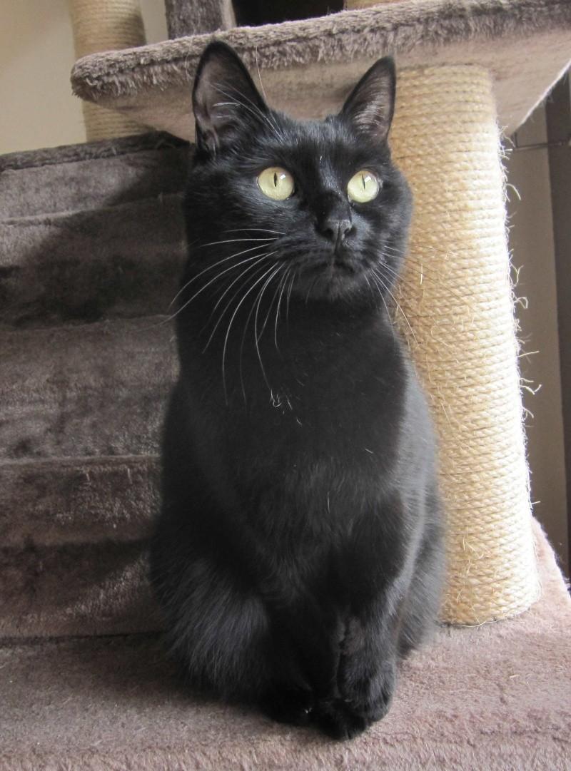 Hania, chatte européenne noire, née en septembre 2012 Img_1533