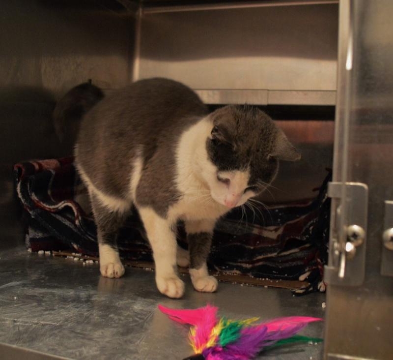 JACKPOT, chat européen gris et blanc, né en avril 2014 Jackpo11