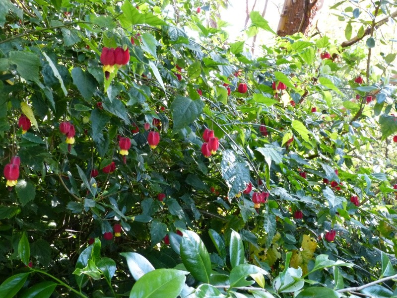 le joli mois de mai des fous jardiniers - Page 5 Abutil11