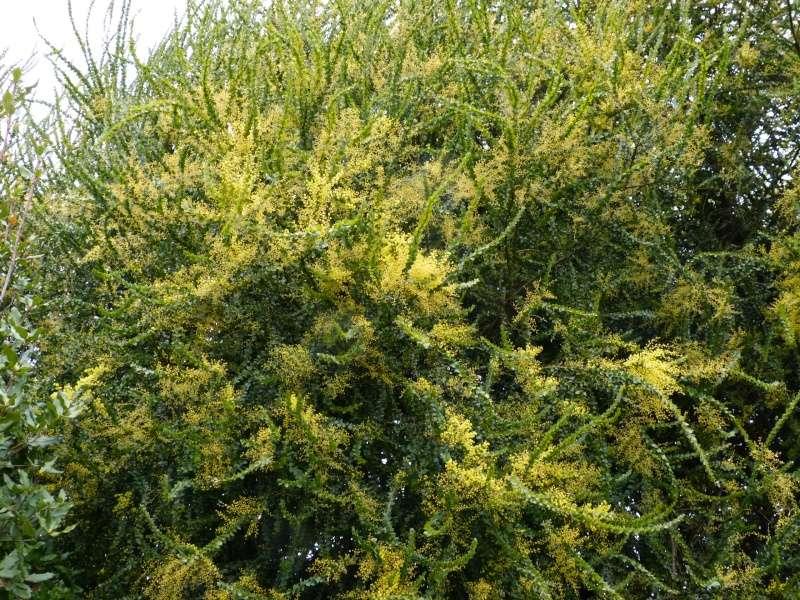 nos plantes parfumées - 2011-2015 - Page 3 Acacia10