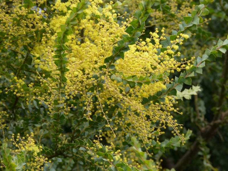 Acacia pravissima - mimosa Acacia13