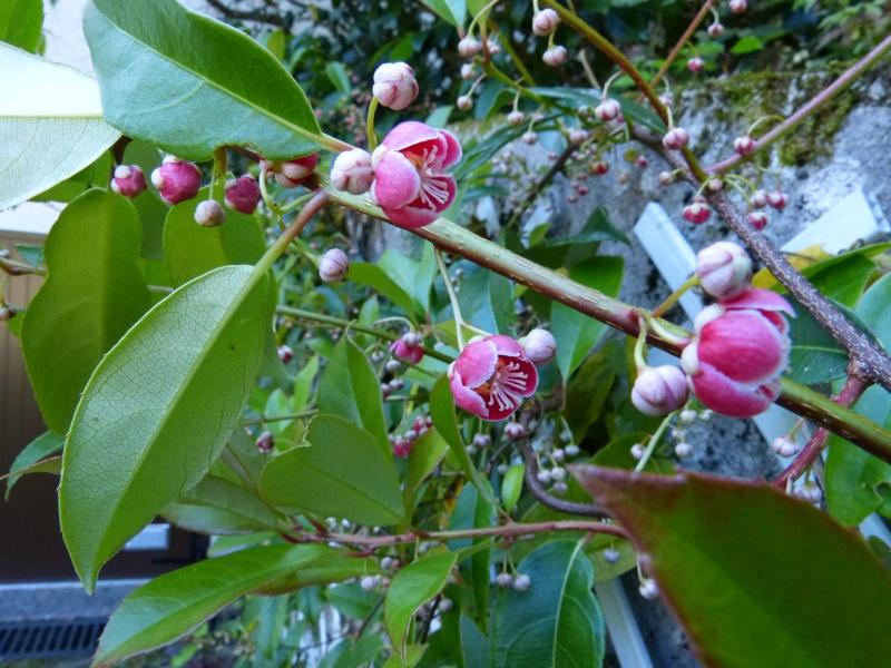 Actinidia rubricaulis var coriacea Actini10