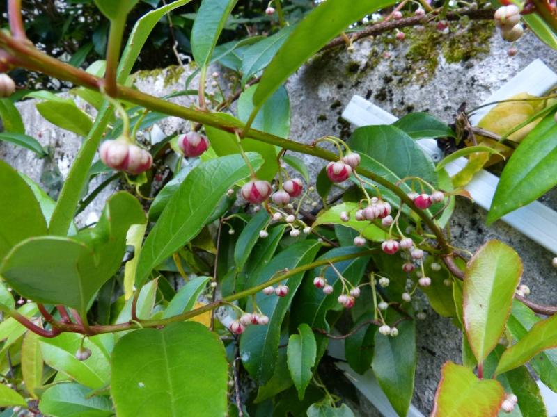 Actinidia rubricaulis var coriacea Actini11