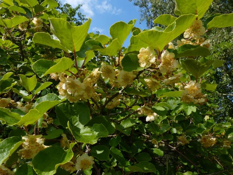 le joli mois de mai des fous jardiniers - Page 8 Actini14