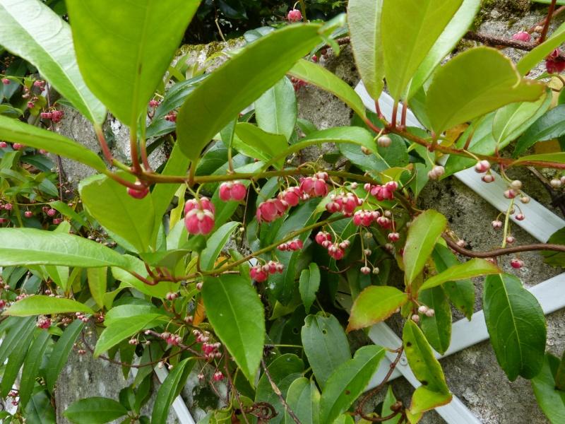 le joli mois de mai des fous jardiniers - Page 8 Actini15