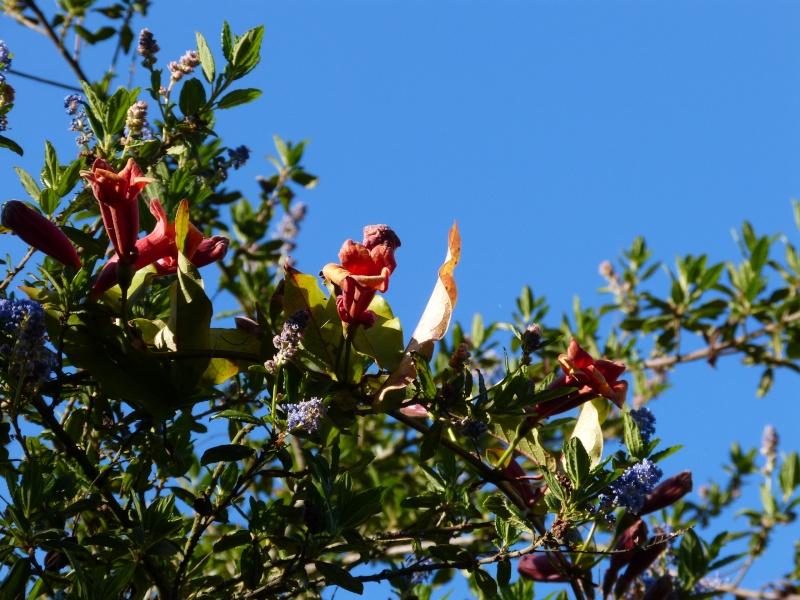 Bignonia capreolata Bignon11