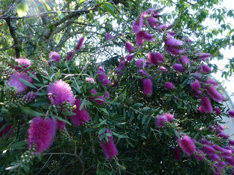 nos plantes parfumées - 2011-2015 - Page 5 Callis23