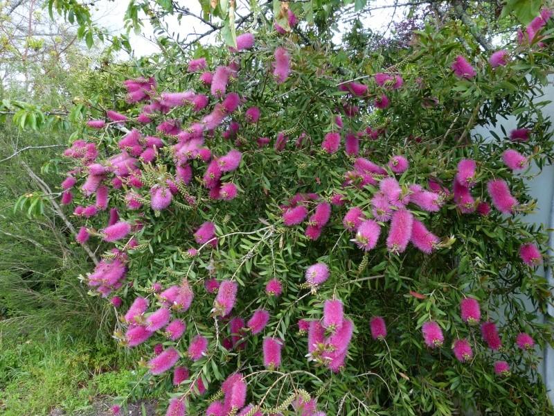 nos plantes parfumées - 2011-2015 - Page 5 Callis24