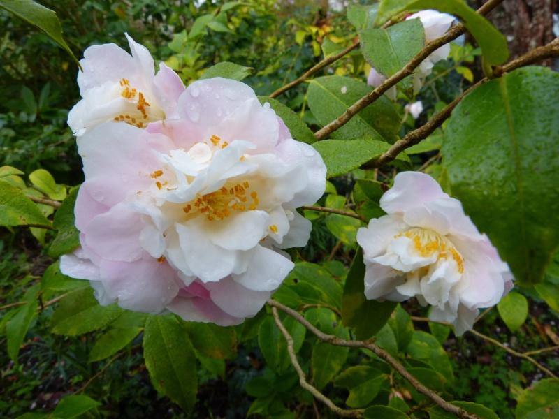 nos plantes parfumées - 2011-2015 - Page 3 Camell11