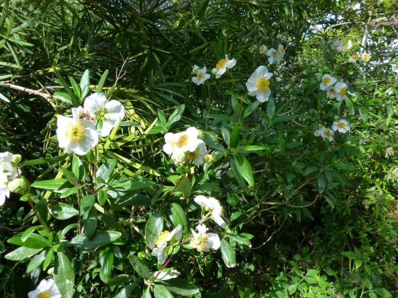 Carpenteria californica Carpen13