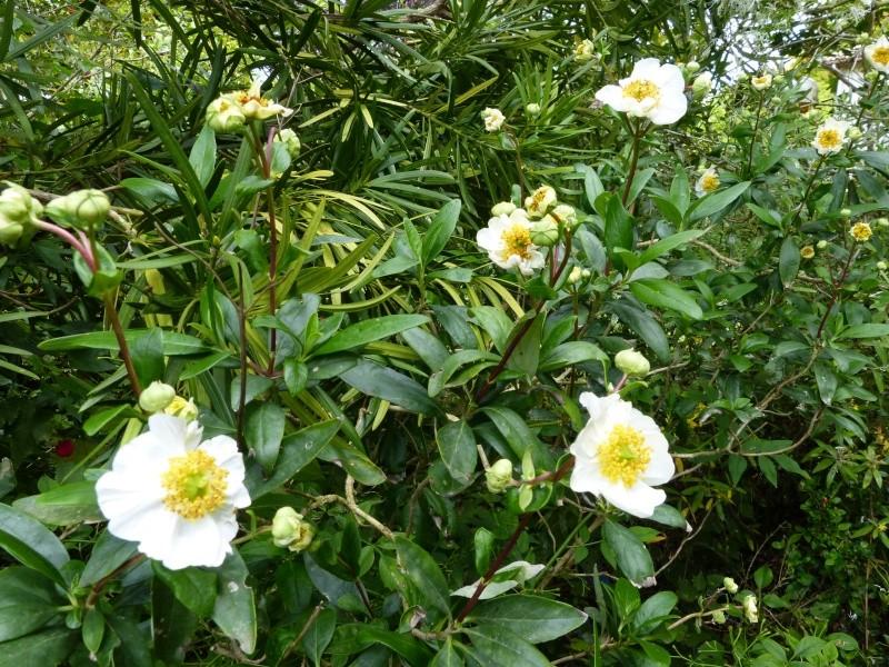 Carpenteria californica Carpen15