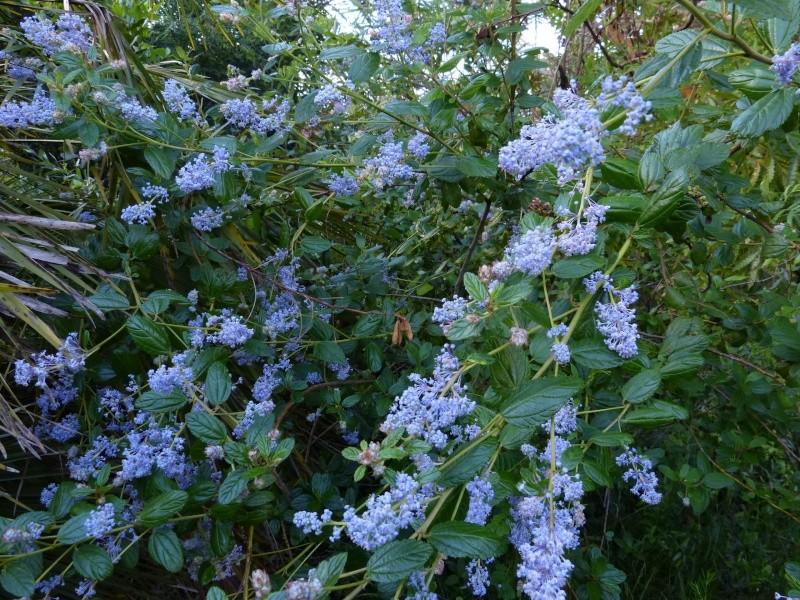 Ceanothus arboreus et cultivars  Ceanot13