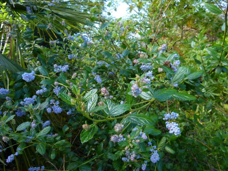 Ceanothus arboreus et cultivars  Ceanot14