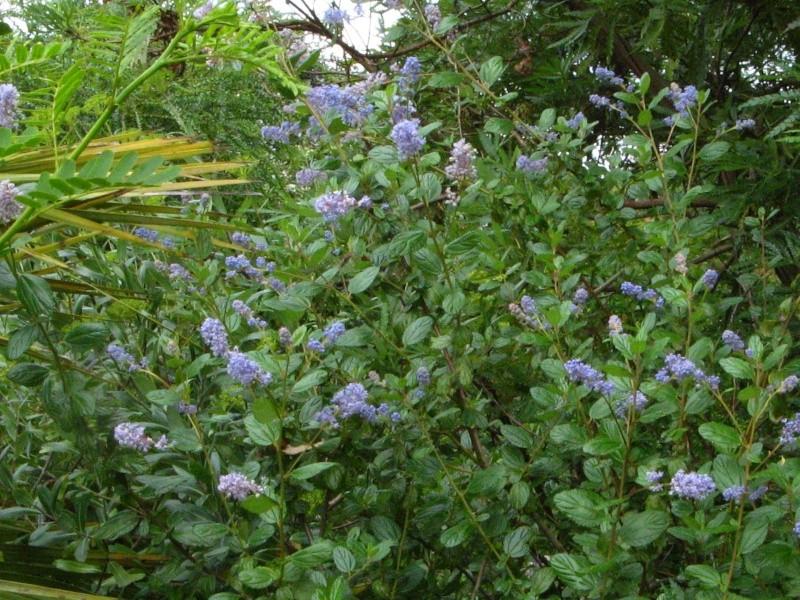 Ceanothus arboreus et cultivars  Ceanot15