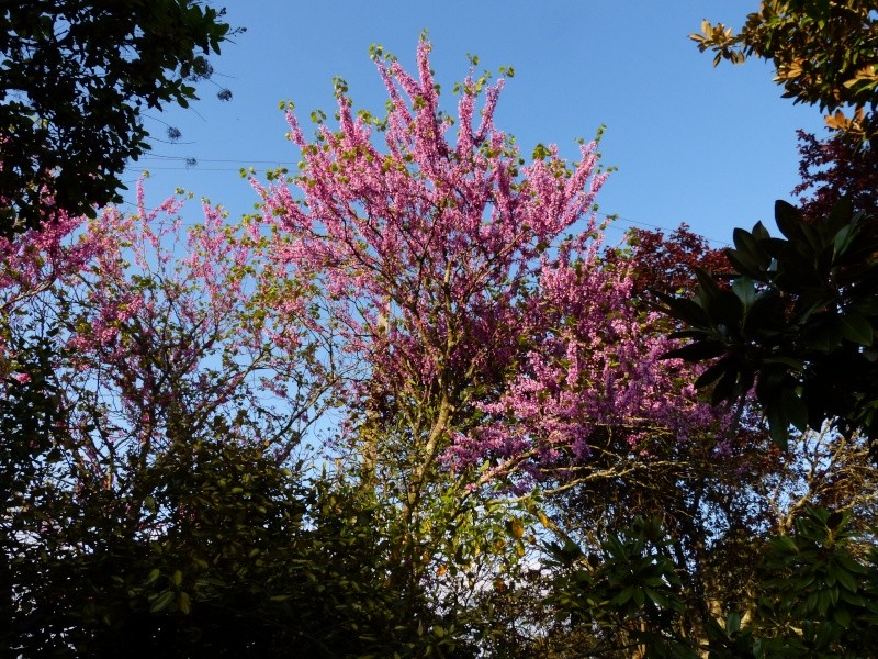 Cercis siliquastrum - arbre de Judée  - Page 2 Cercis10
