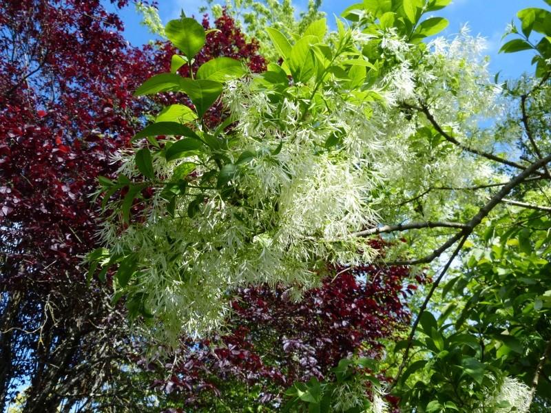 nos plantes parfumées - 2011-2015 - Page 5 Chiona11