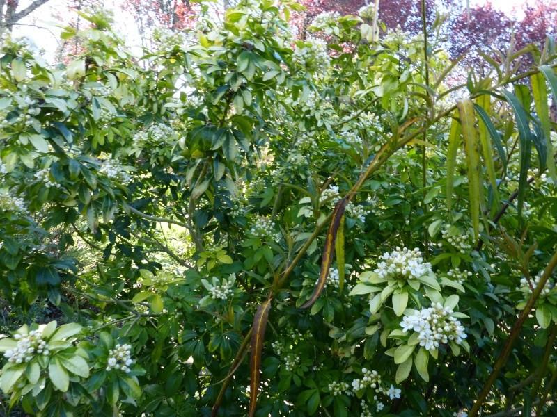 nos plantes parfumées - 2011-2015 - Page 3 Choisy11