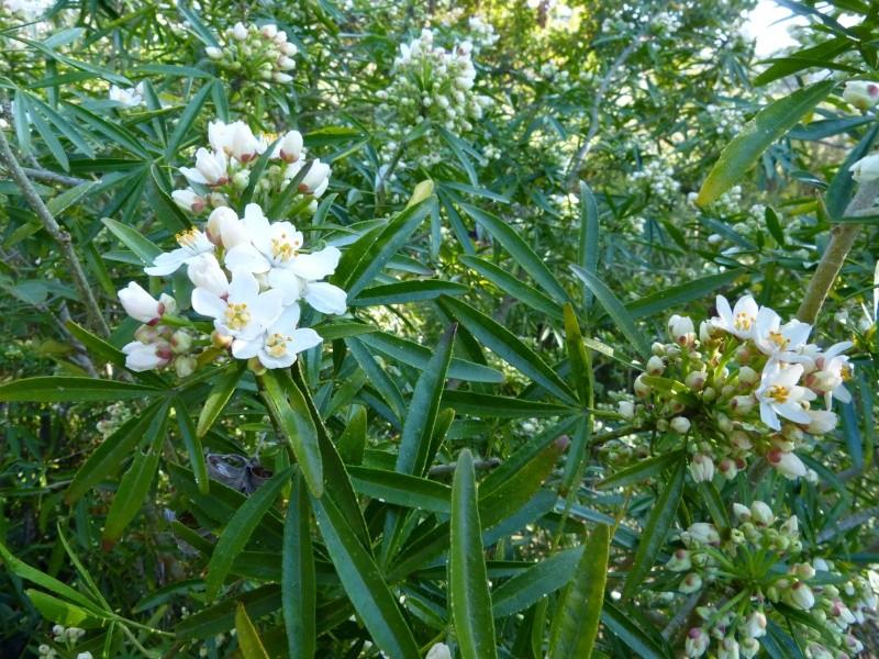 nos plantes parfumées - 2011-2015 - Page 3 Choisy12