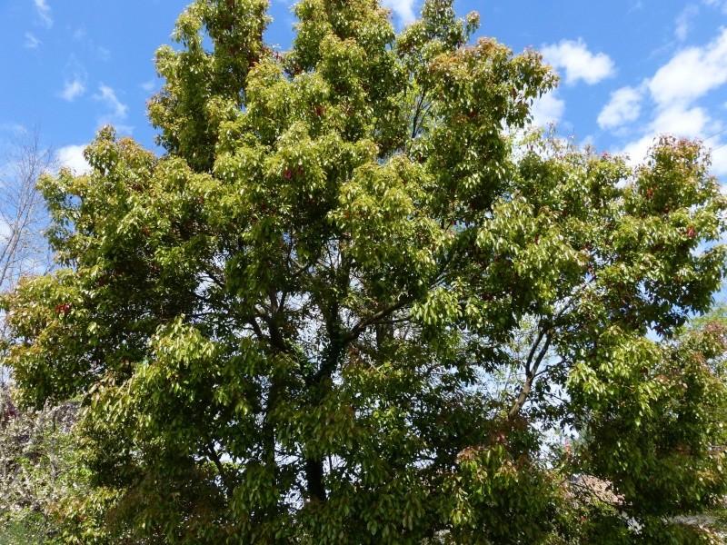 Cinnamomum camphora - camphrier - Page 2 Cinnam10