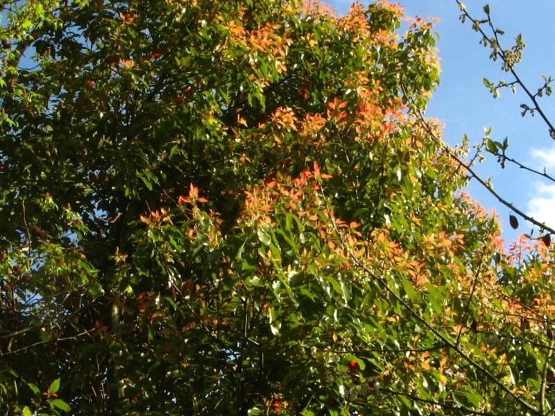 Cinnamomum camphora - camphrier - Page 2 Cinnam11
