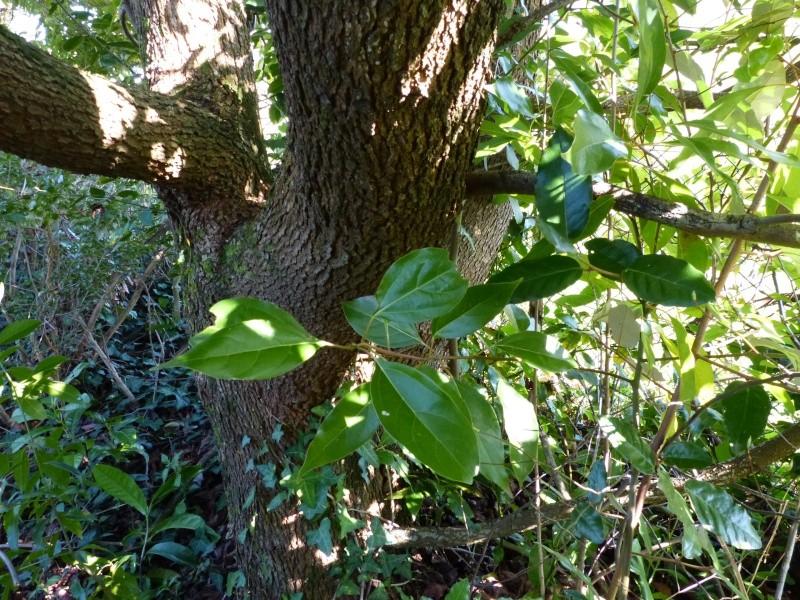 Cinnamomum camphora - camphrier - Page 3 Cinnam13