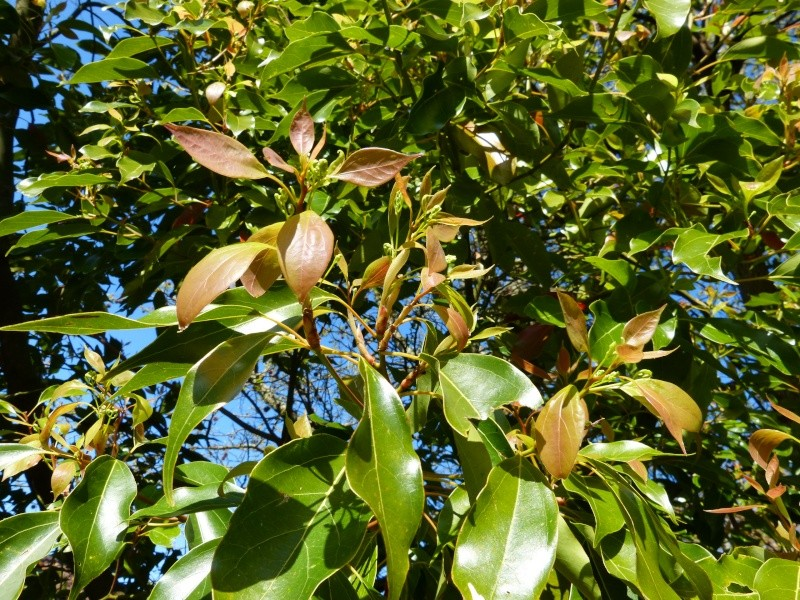 Cinnamomum camphora - camphrier - Page 3 Cinnam14