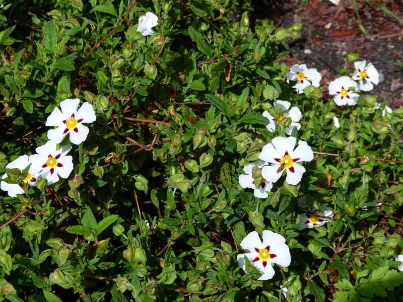 le joli mois de mai des fous jardiniers - Page 3 Cistus15