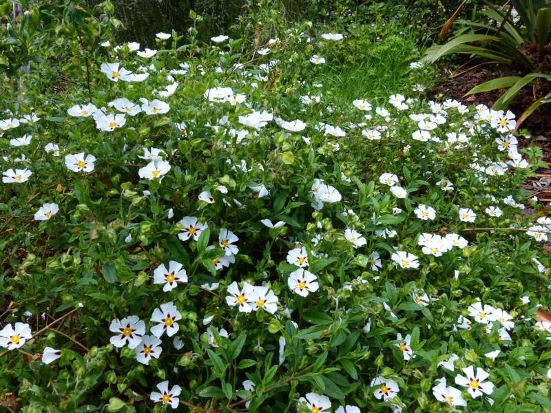 le joli mois de mai des fous jardiniers - Page 5 Cistus16