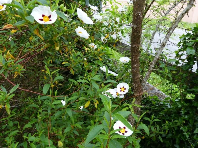 le joli mois de mai des fous jardiniers - Page 5 Cistus17