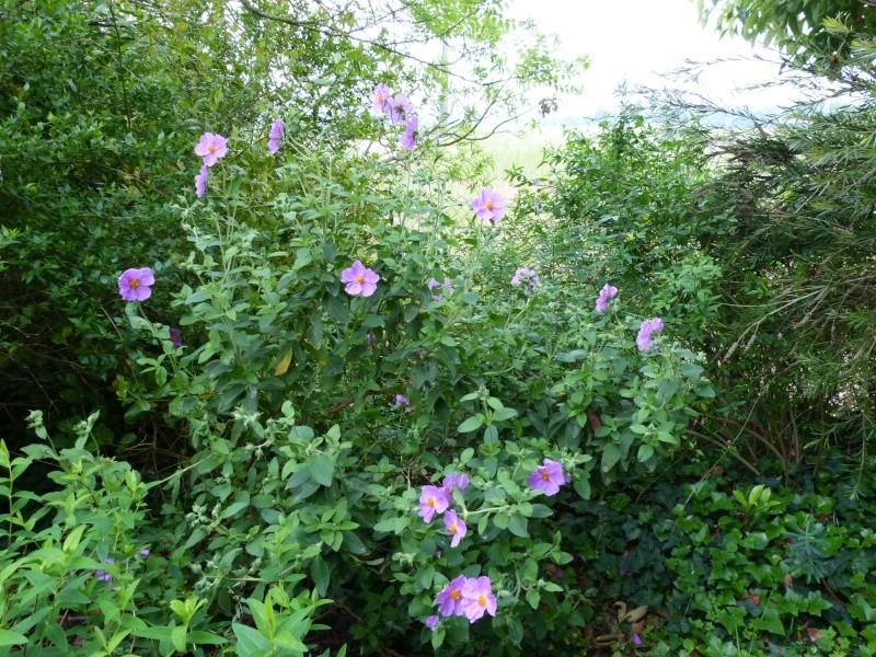 le joli mois de mai des fous jardiniers - Page 5 Cistus18