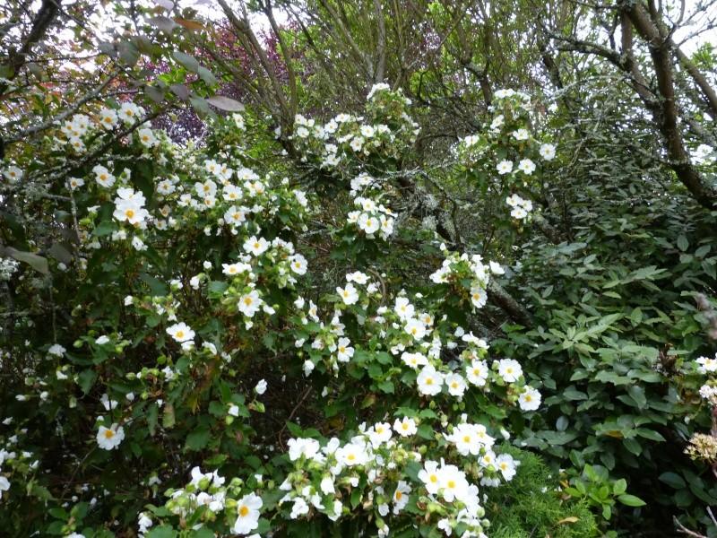 le joli mois de mai des fous jardiniers - Page 5 Cistus19