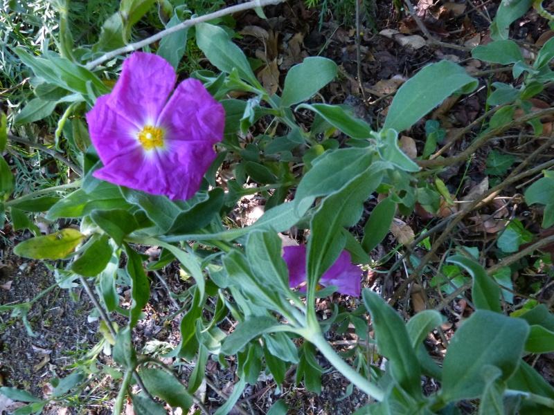 le joli mois de mai des fous jardiniers - Page 7 Cistus20