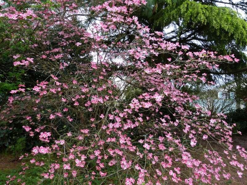 Cornus florida - cornouiller à fleurs  Cornus13