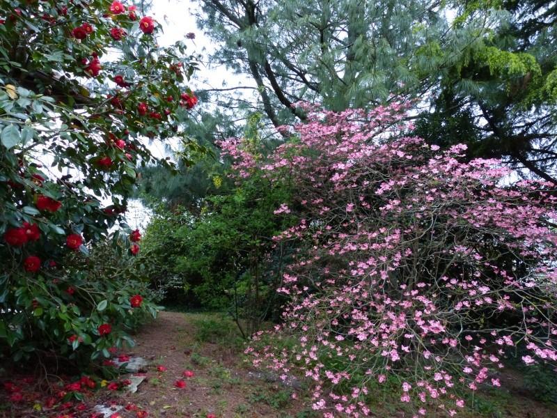 Cornus florida - cornouiller à fleurs  Cornus14