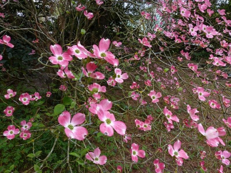 Cornus florida - cornouiller à fleurs  Cornus15