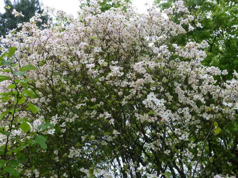 Cornus florida - cornouiller à fleurs  Cornus16
