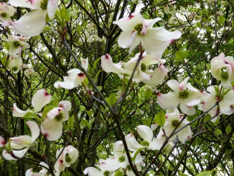 Cornus florida - cornouiller à fleurs  Cornus17