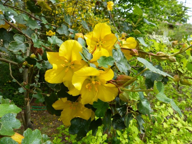 Fremontodendron californicum Fremon11